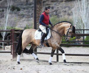 Buckskin Andalusian Stallion