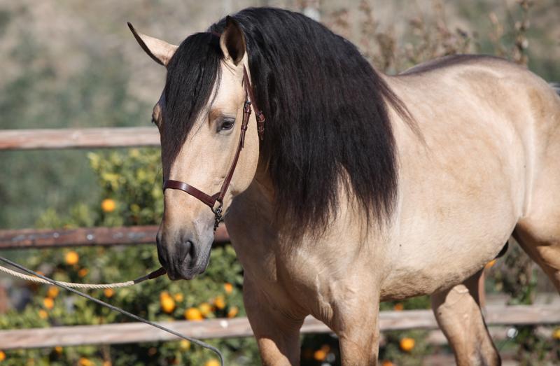Caballo PRE Bayo - Buckskin Andalusian Stallion