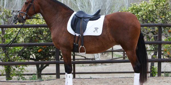 Bay Andalusian Ridden Mare