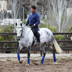 Grey PRE Ridden Andalusian Mare
