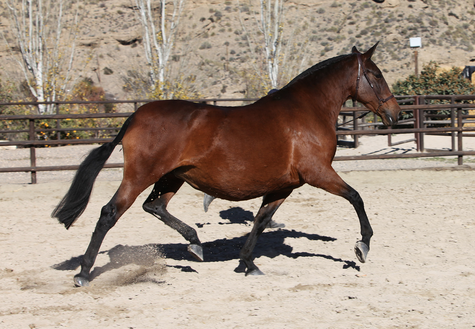 Bay Andalusian Mare